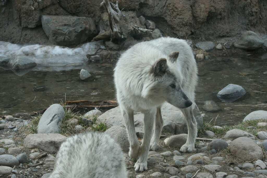 wolf-386341_1920