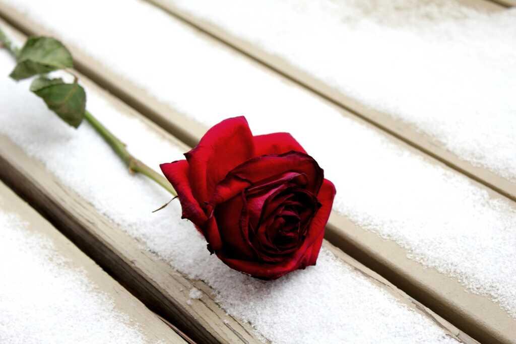rose-975596_1920